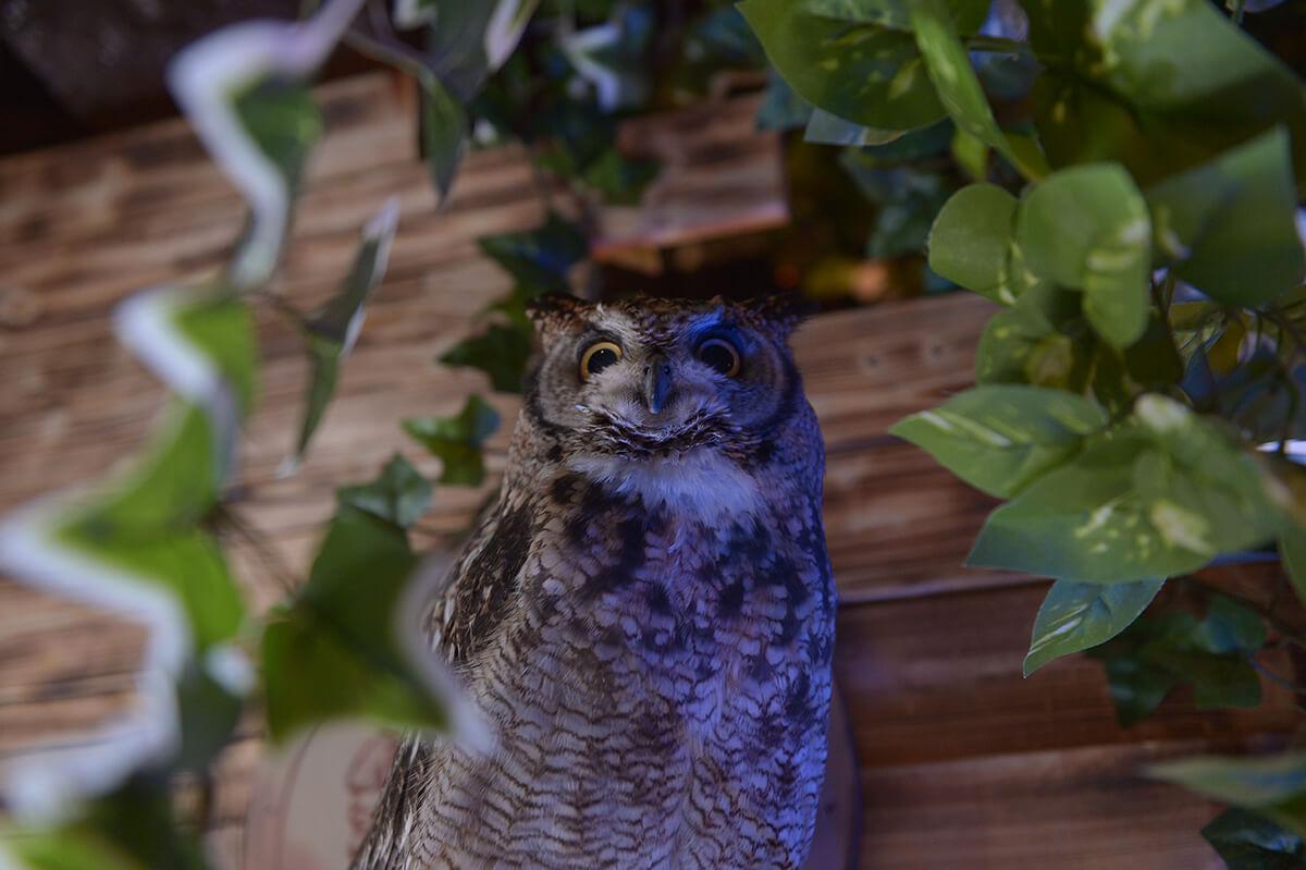 Nikon Dfで撮った浅草にあるフクロウカフェのフクロウ