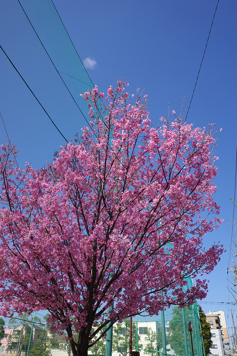 RICOH GR IIIで撮った満開前の桜 ビビット